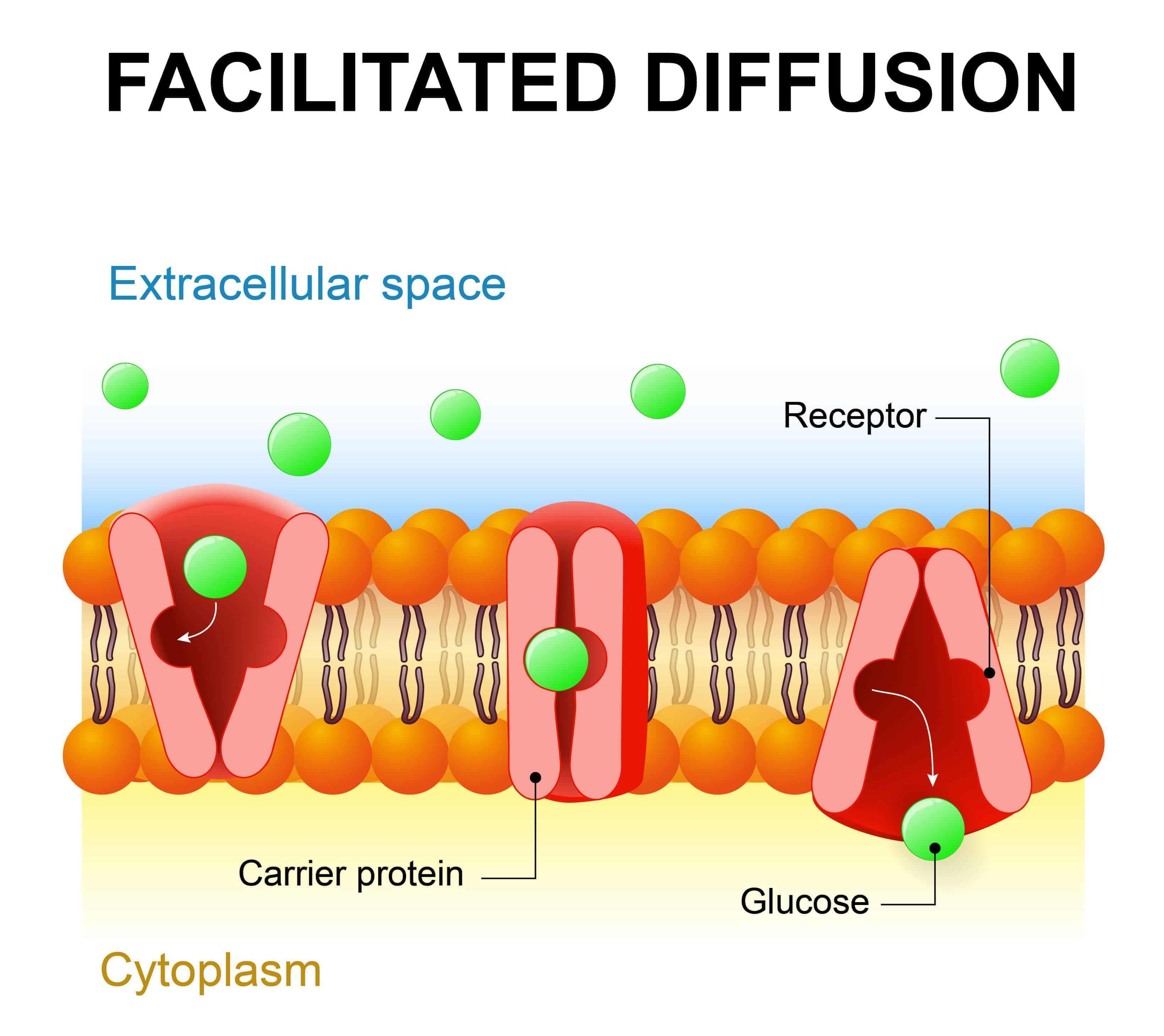 Illustration of Facilitated Diffusion