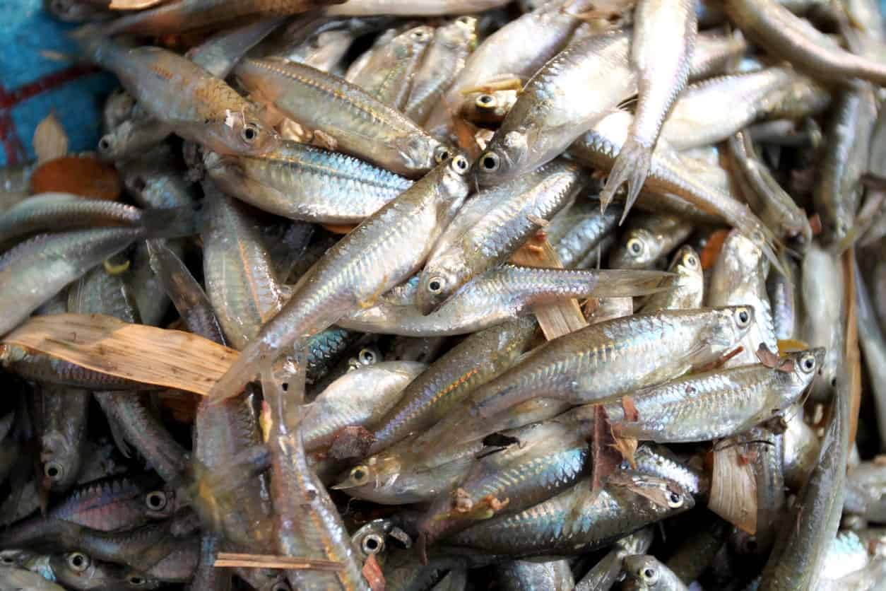 Freshly caught Fathead Minnow fishes.