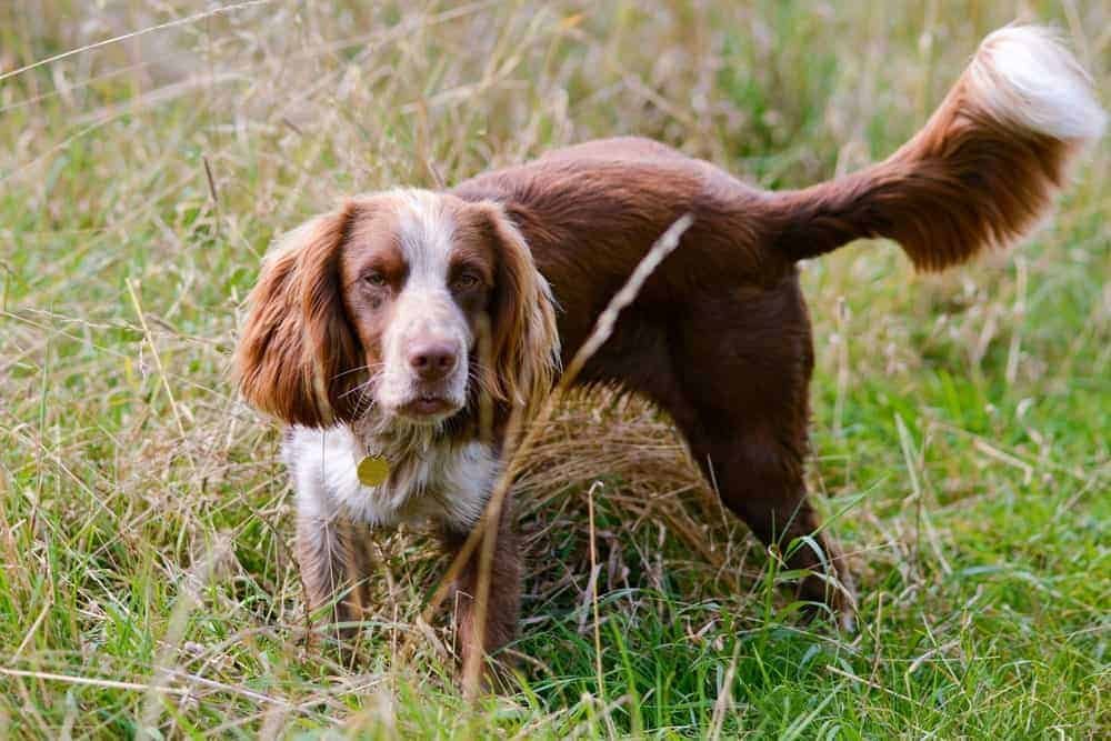 A Field Spaniel in the Park.