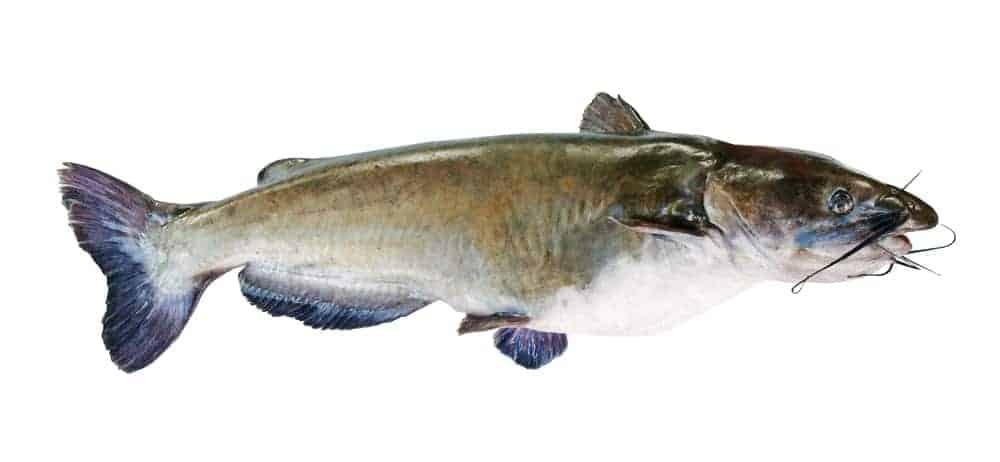 A multicolored flathead catfish