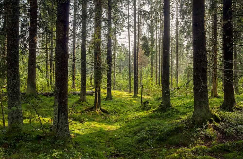 A forest full of tall and slim trees.