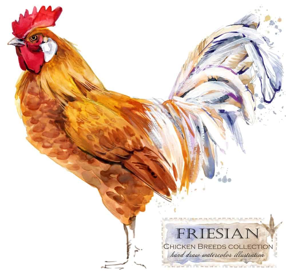 Friesian chicken breed