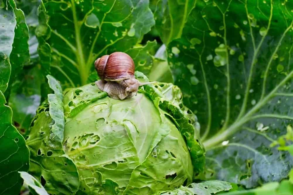 A garden snail sitting on a cabbage.