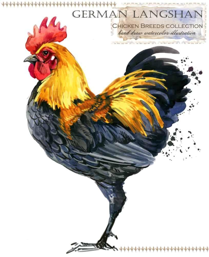 German Langshan chicken breed