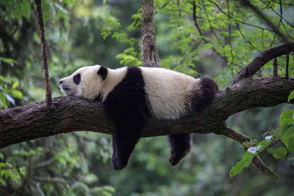 Giant Panda Bear hugging a tree.