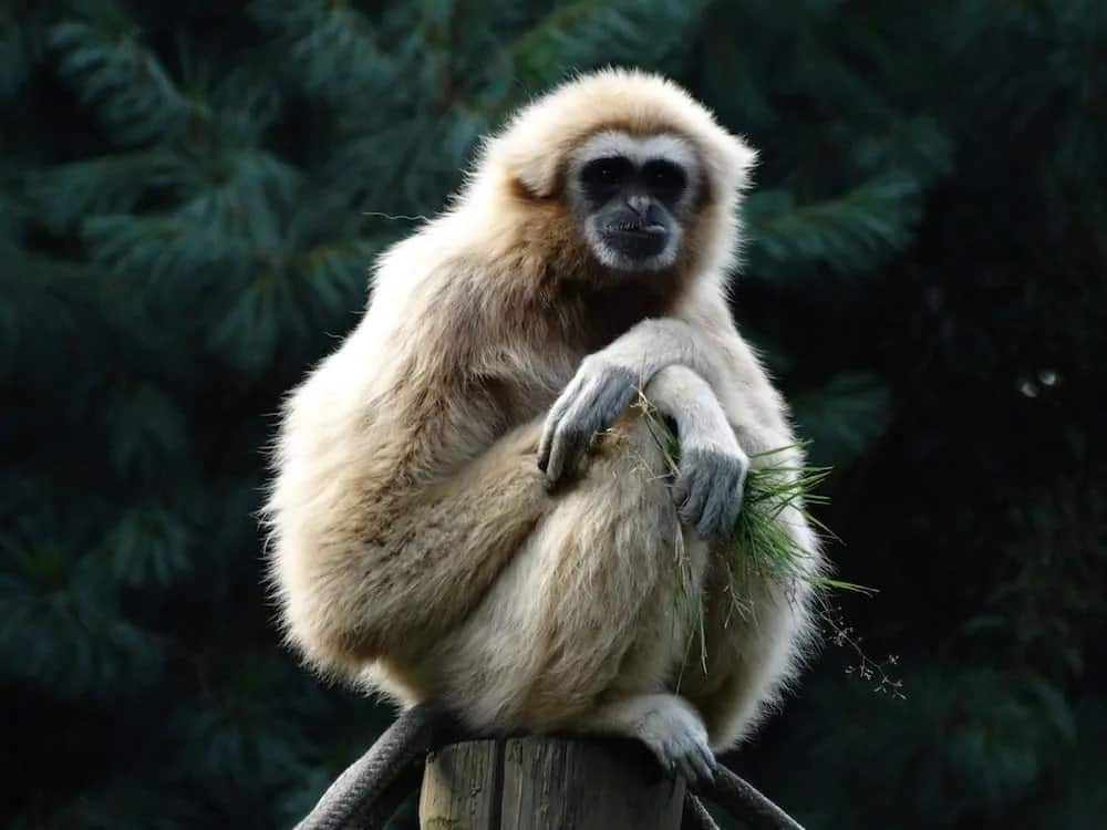 Gibbon sitting on a log.