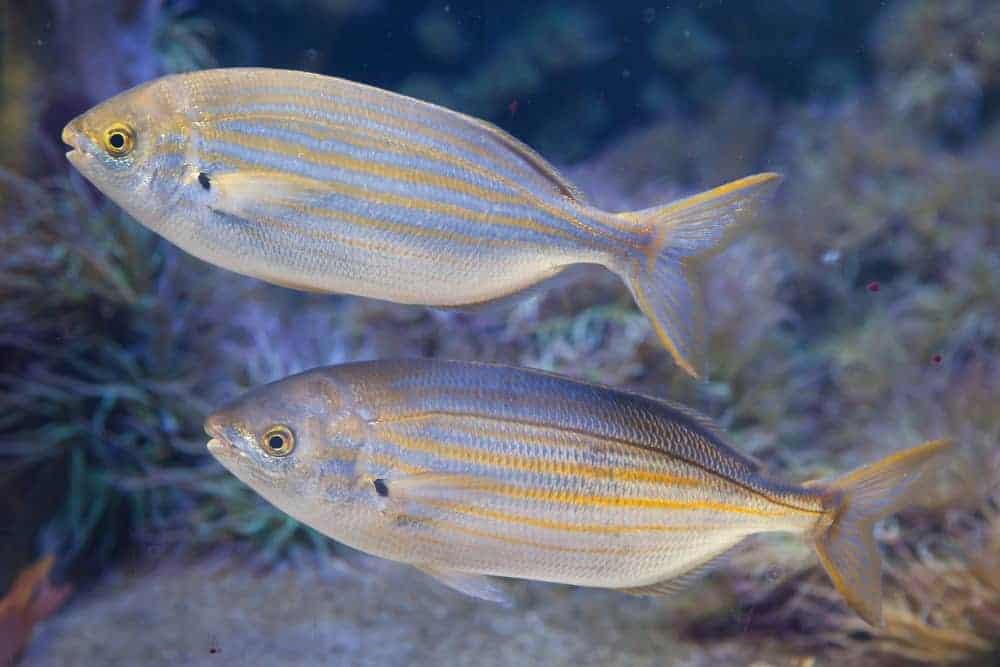 A pair of Salema porgy fish.