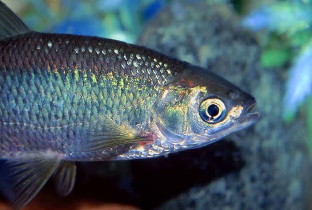 Golden Shiner fish
