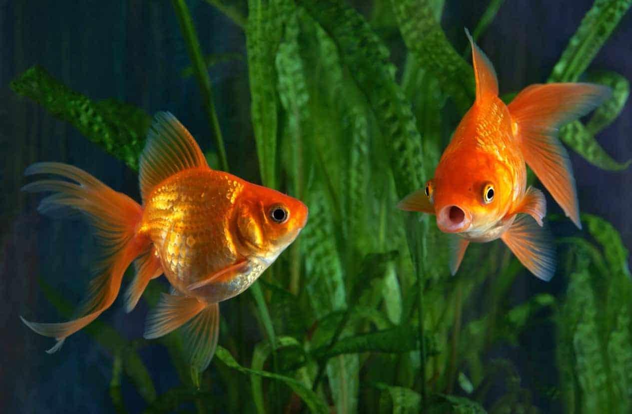 A pair of goldfish swimming in an aquarium.