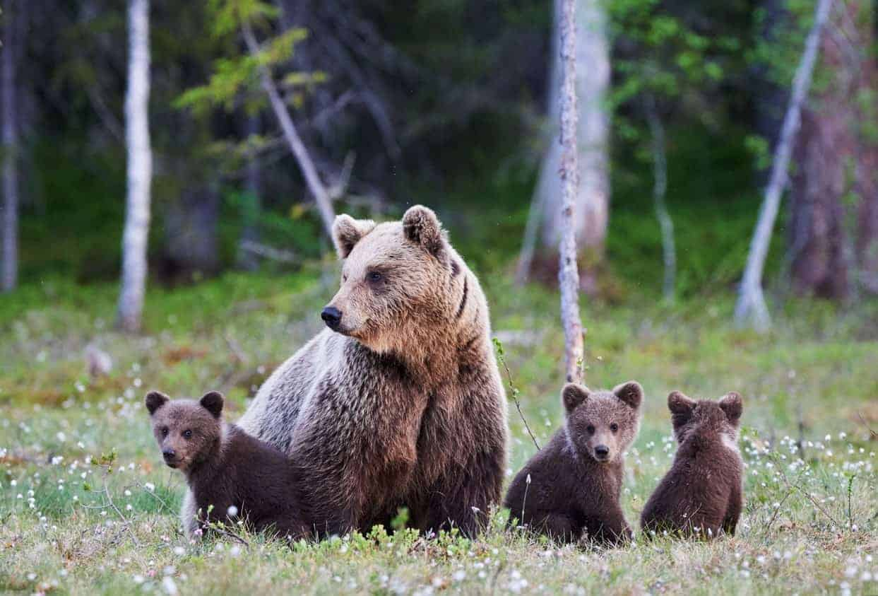 Grizzly bear with her cubs.