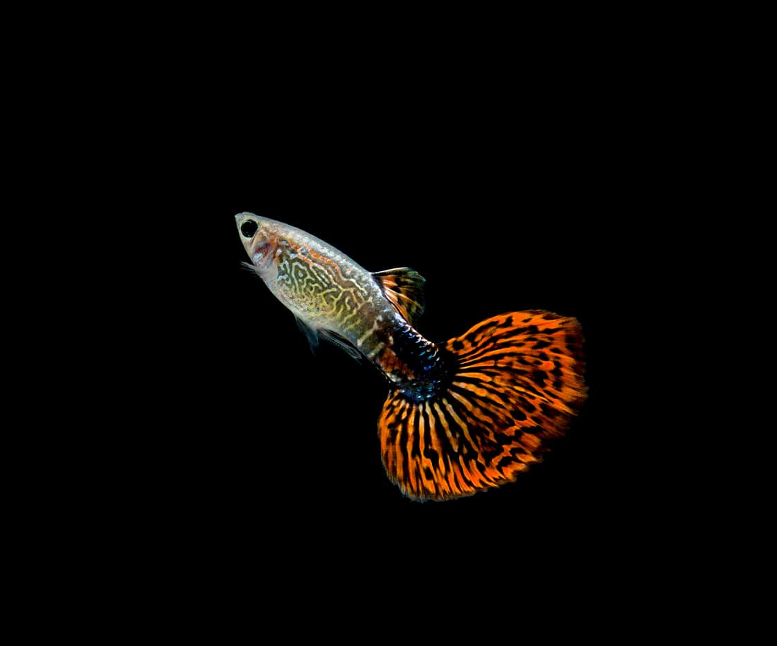 Guppy fish against the black background.