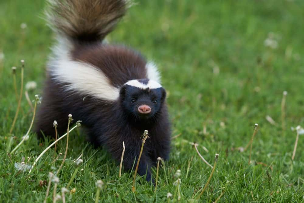 Hog-nosed Skunk on a green grass.