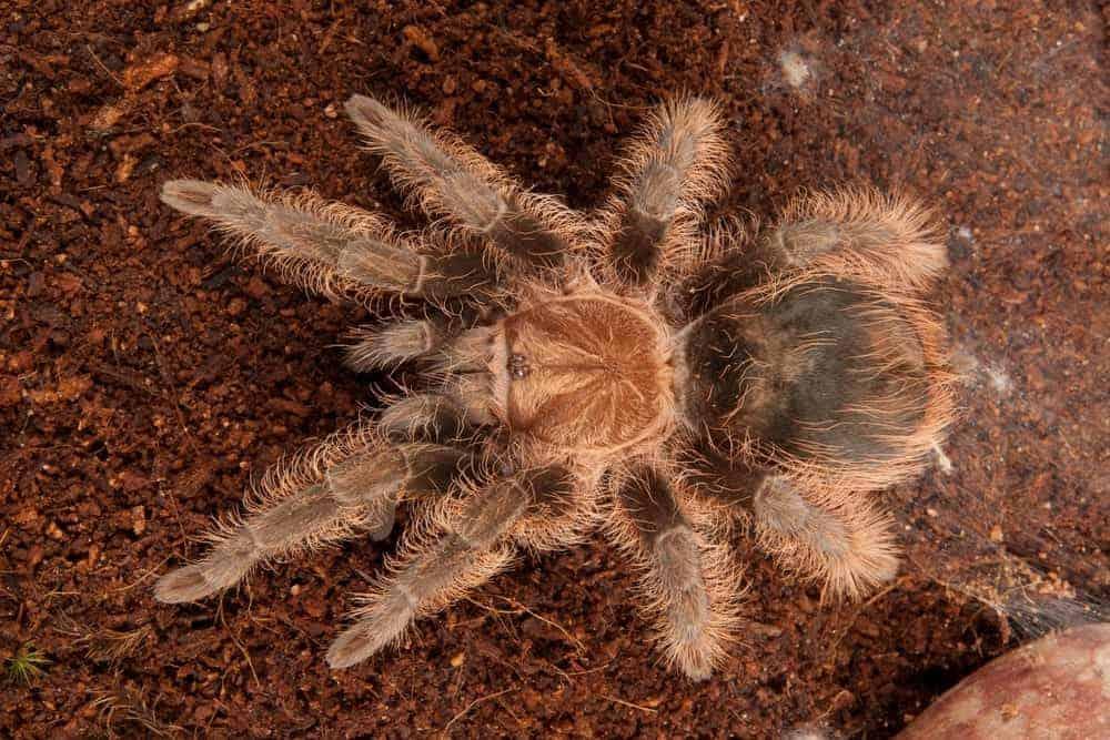 Hairy Honduran Curly Hair tarantula
