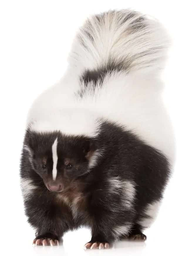 Hooded skunk