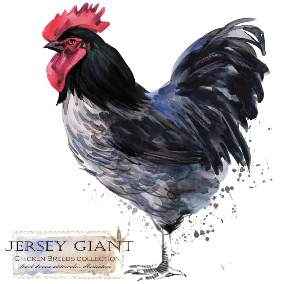 Jersey Giant chicken breed