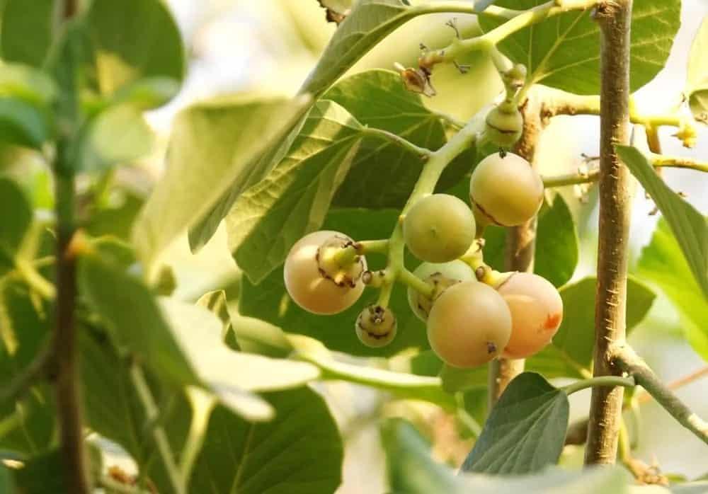Fruits of a Kadota fig tree