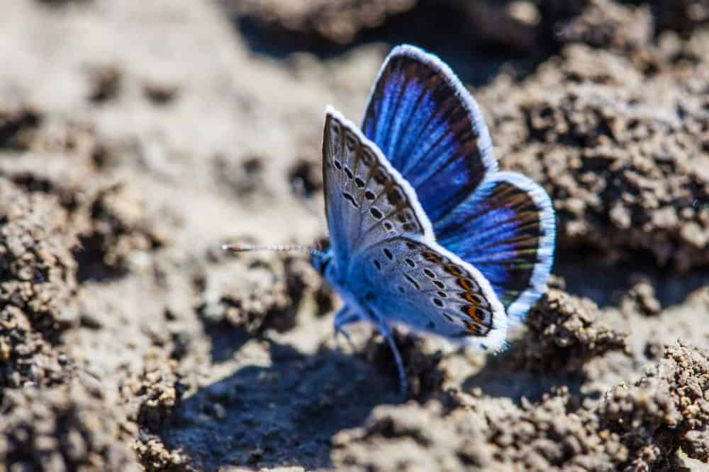 Karner Blue butterfly on the sand