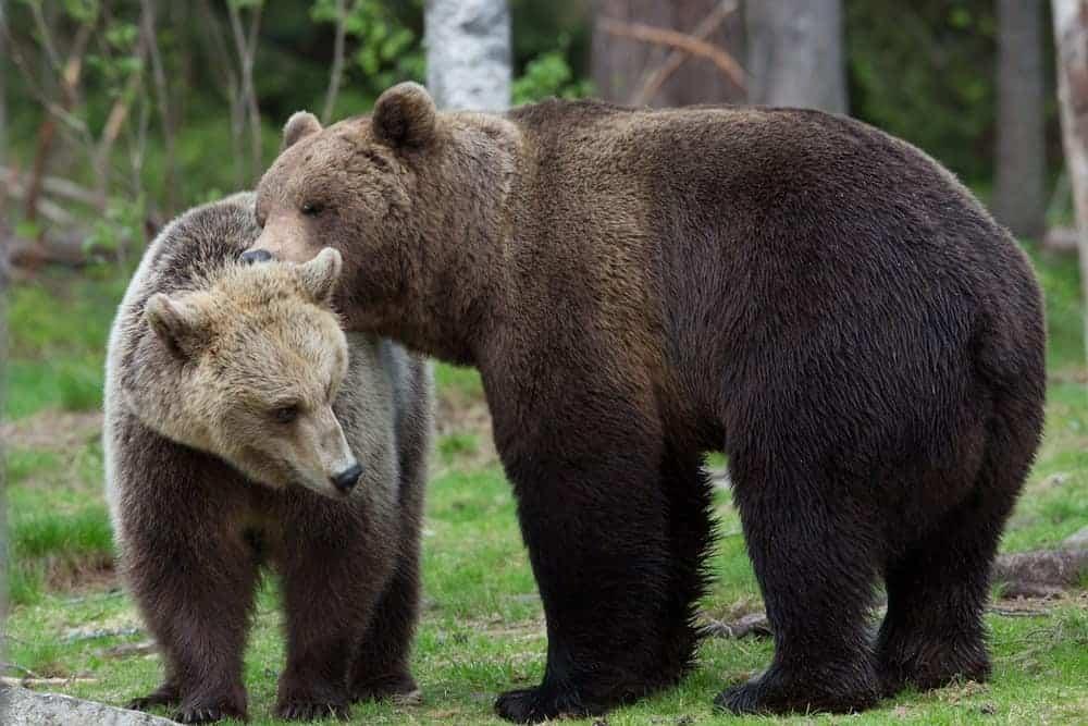 A Kodiak Brown bear resting his head on his partner.