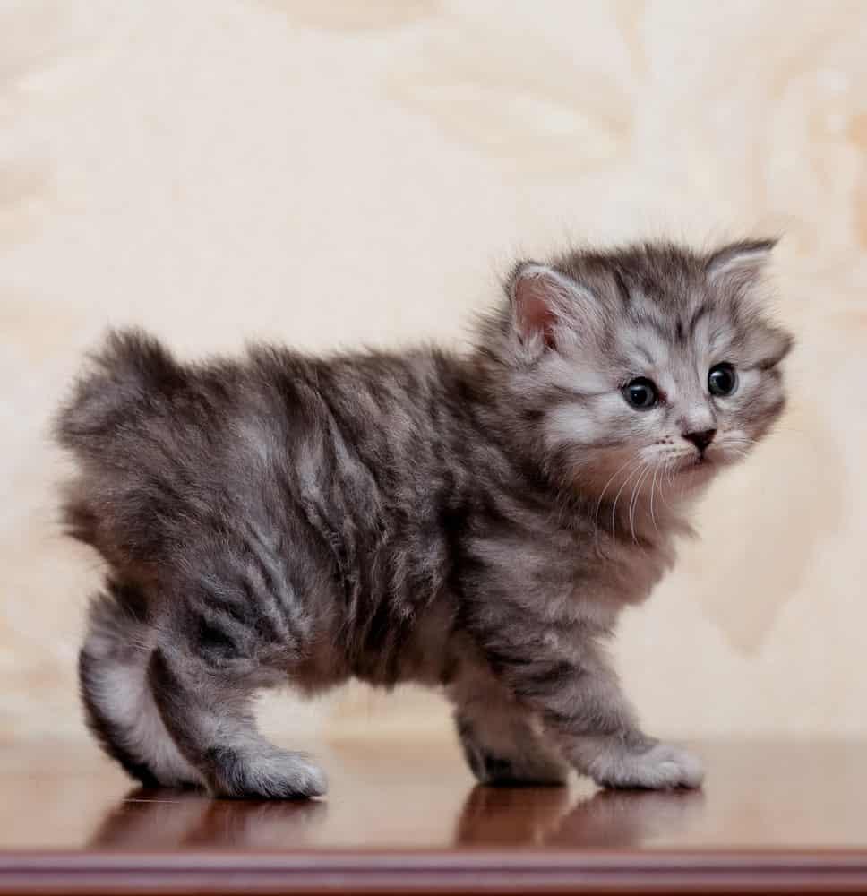 Cute Kurilian Bobtail kitten