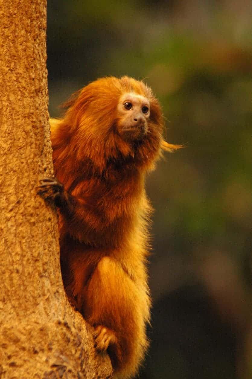 Wild Lion Tamarin hugging a tree.
