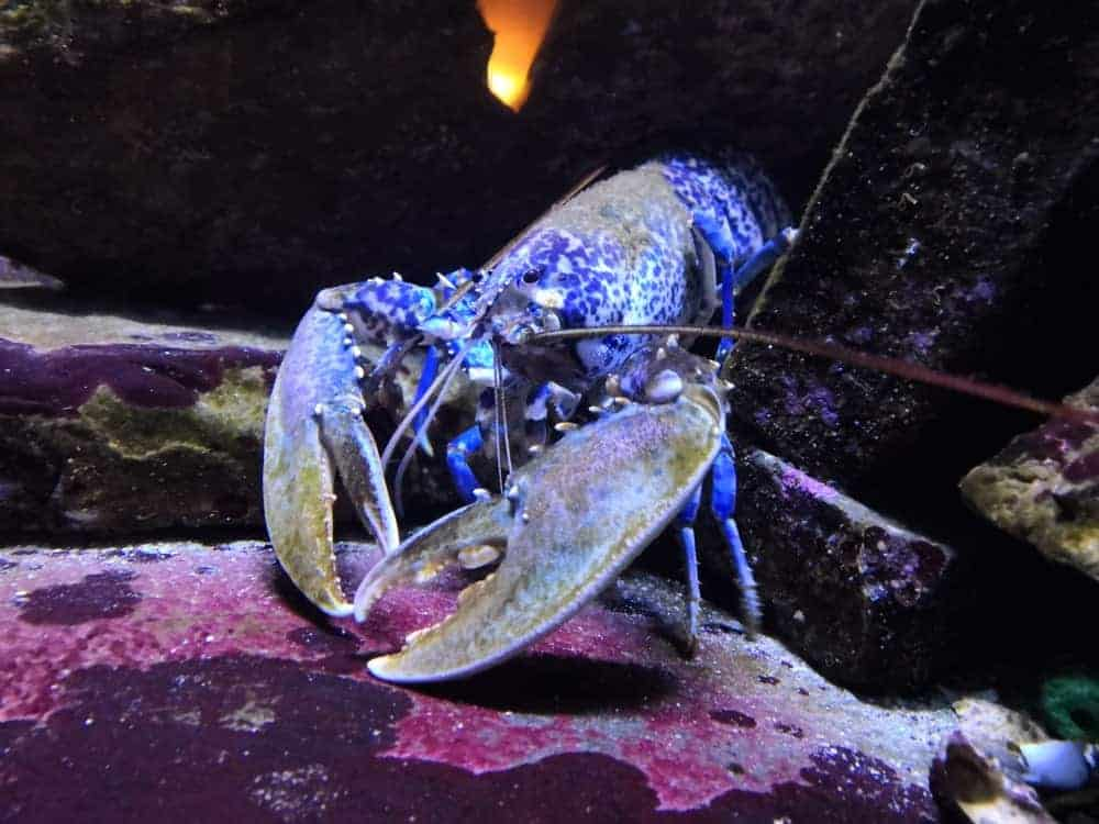 A lobster contained in a fish tank