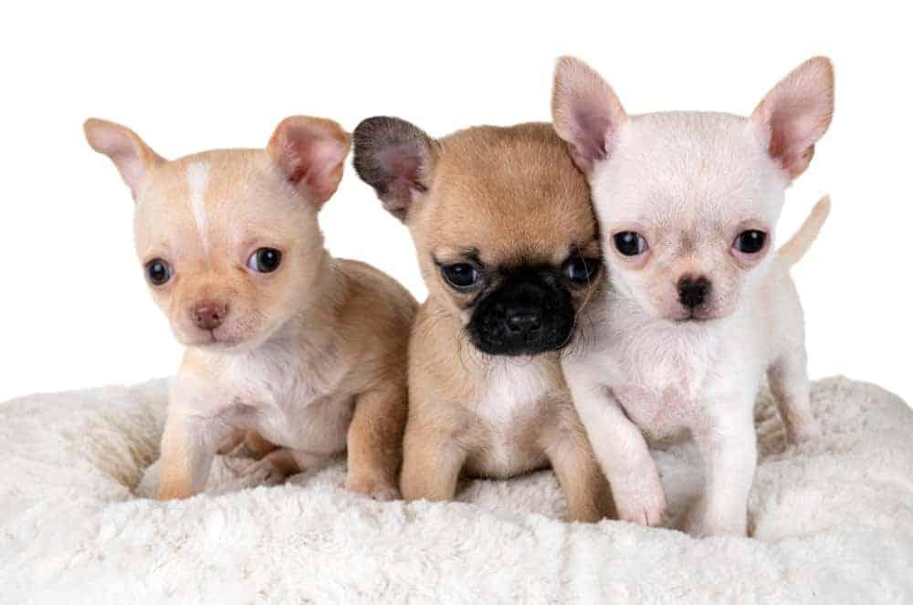 Three tiny Chihuahuas against white background