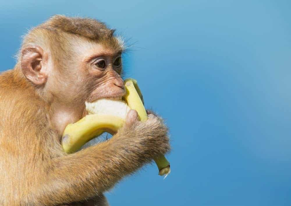 Macaque monkey eating a banana.