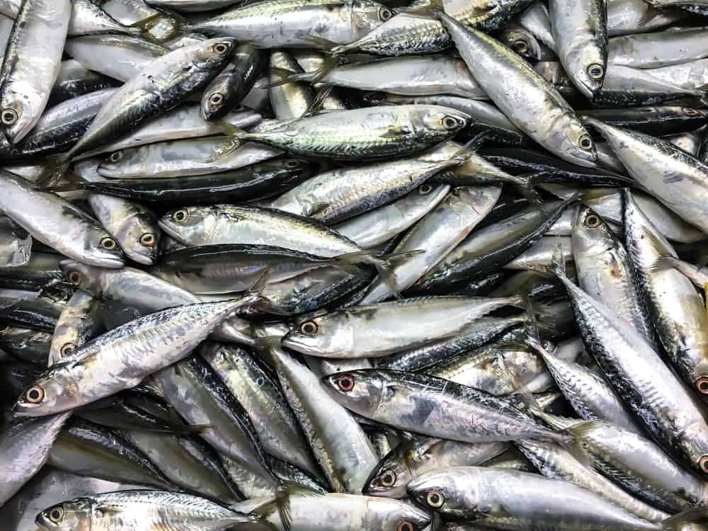 Tons of mackerel fishes.