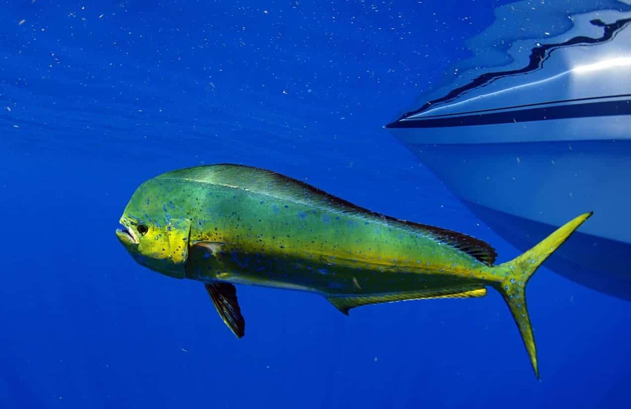 Mahi-Mahi fish swimming near the surface.