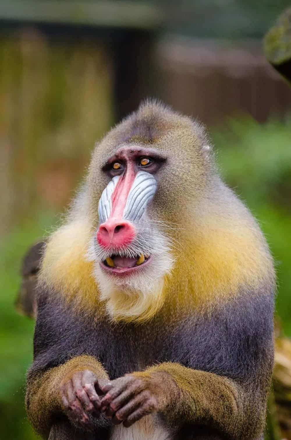 A colorful Mandrill baboon.