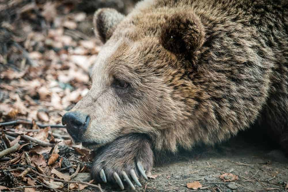 Wild Marsican Brown bear resting his head on his hand.