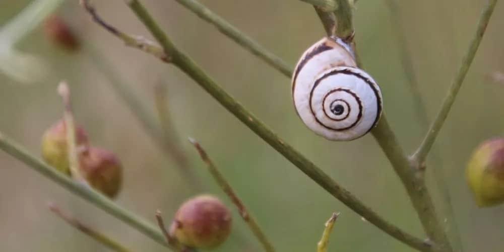 Mediterranean green snail on a plant stem.