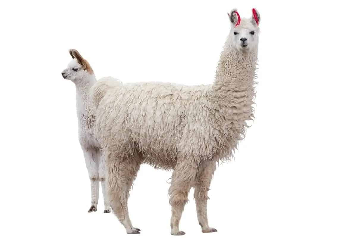 Two medium llamas against the white background.