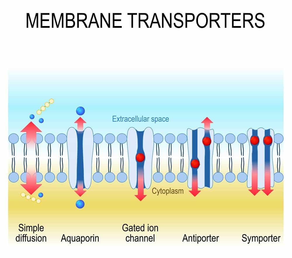 Illustration of Membrane Transporters
