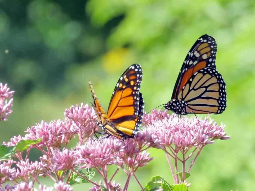 Monarch butterflies in a garden