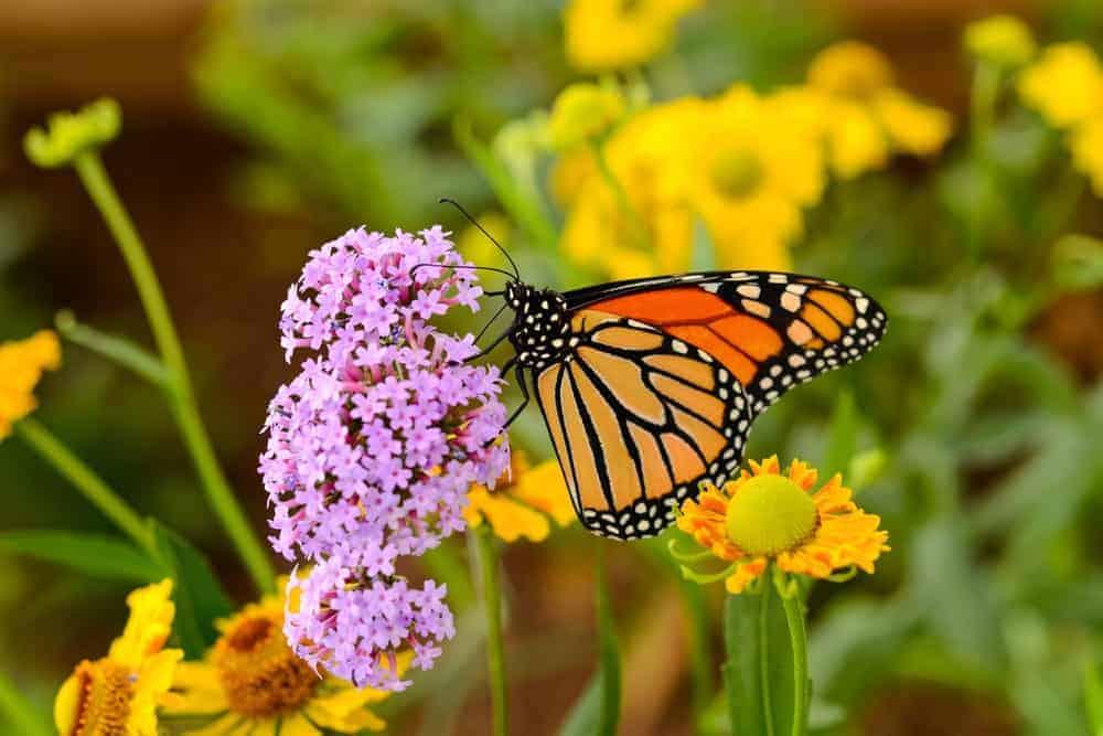 Orange-Black butterfly on purple flowers