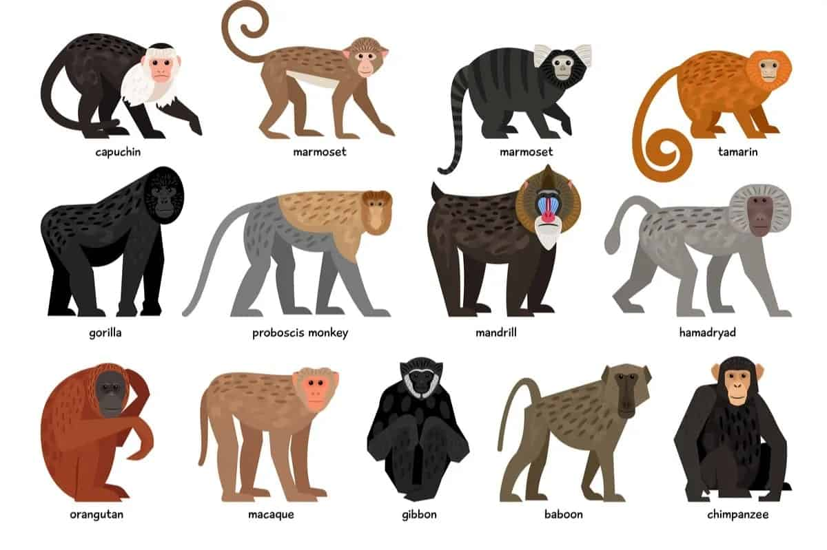 13 Different Types of Monkeys from Around the World – Nayturr