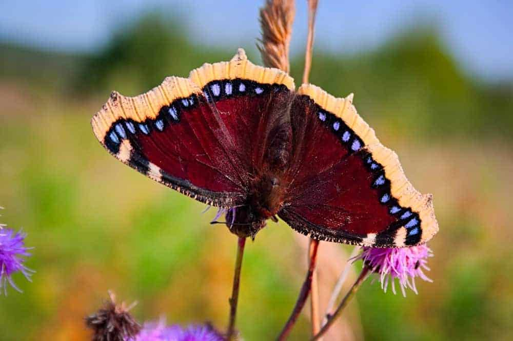 Mourning Cloak butterfly on a leaf