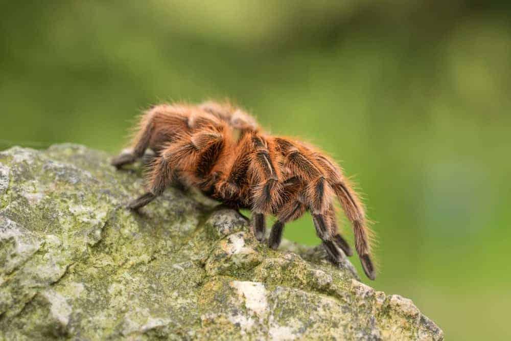 A Tarantula moving on top of a rock.