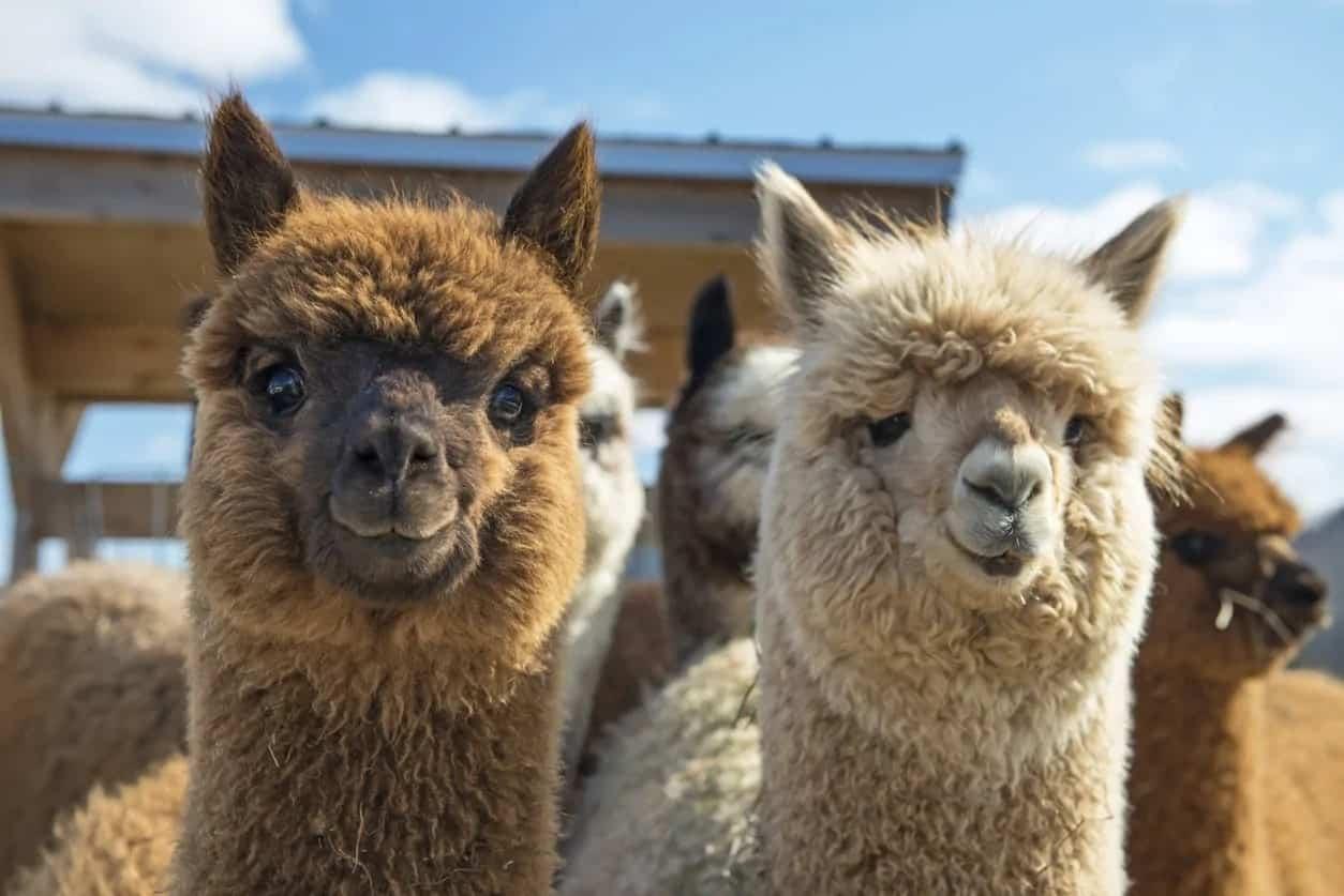 Llamas of multiple colors.