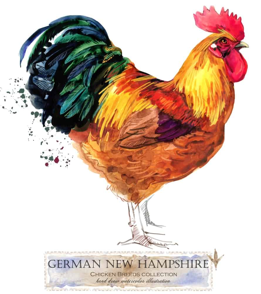 New Hampshire Red chicken breed