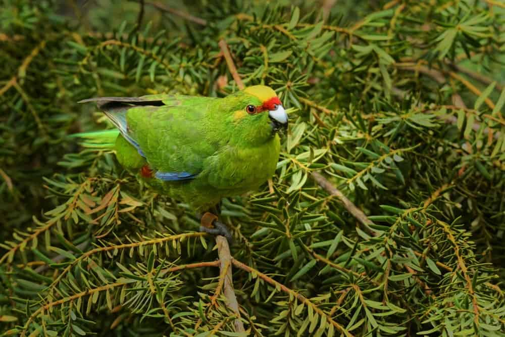 Yellow-Crowned Parakeet with red frontal band.