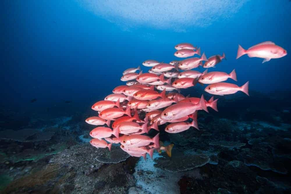 Northern Red Snappers swimming in group.