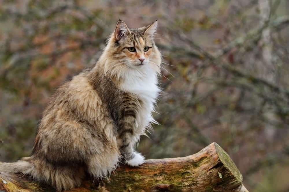 Norwegian Forest cat in a garden