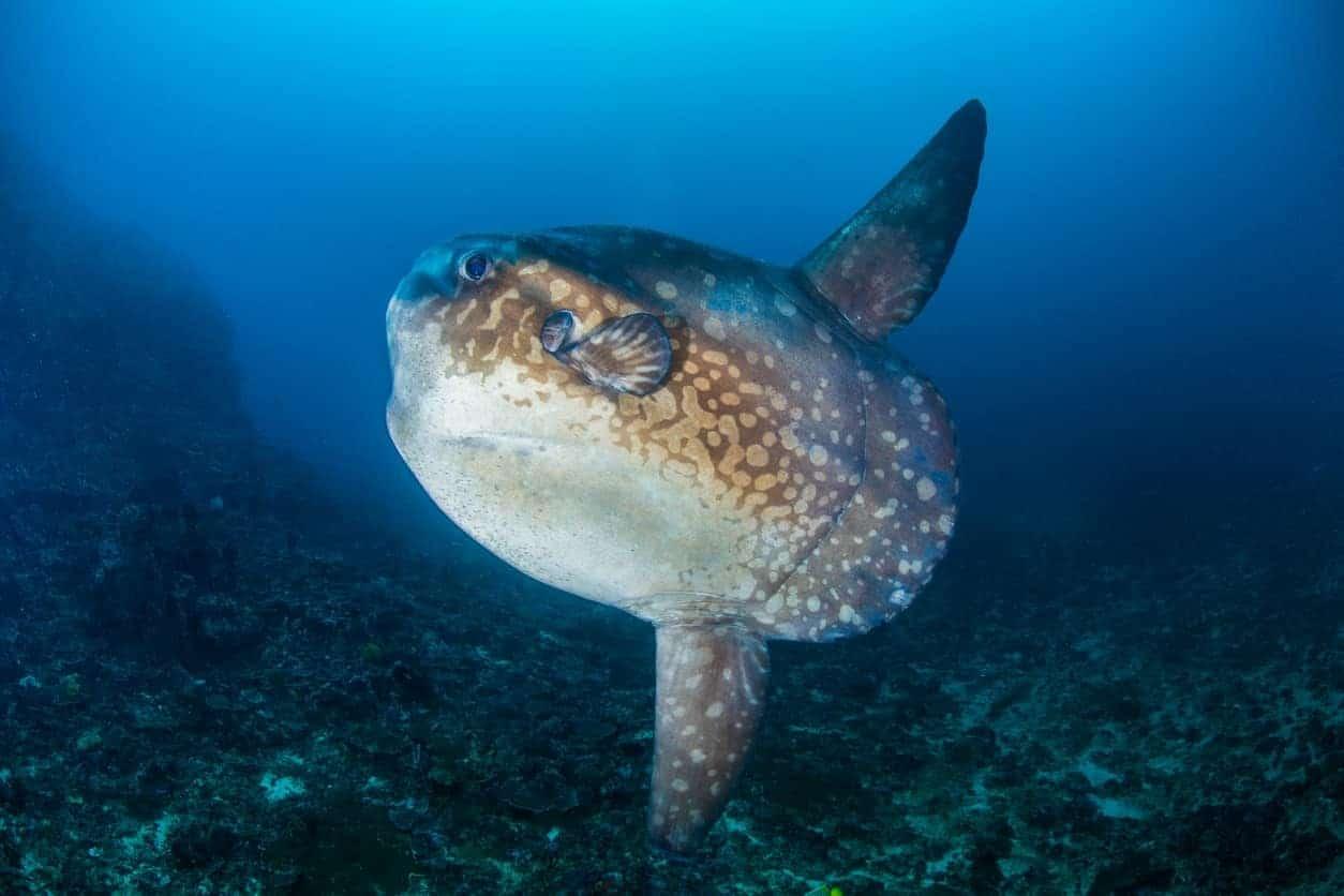 Mola Mola fish under water.