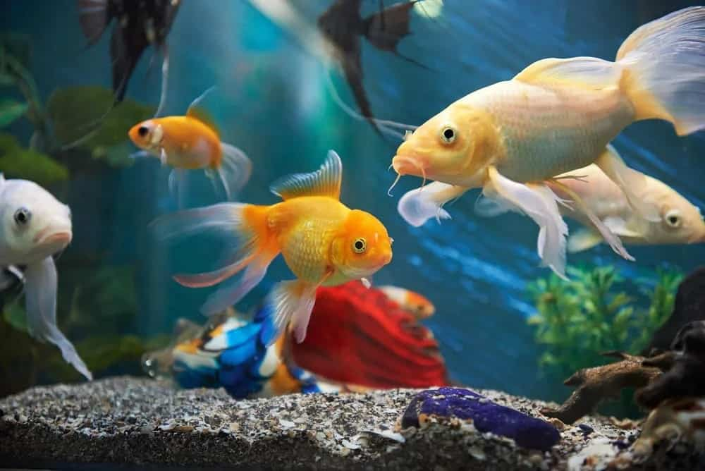 Colorful fishes in an aquarium.