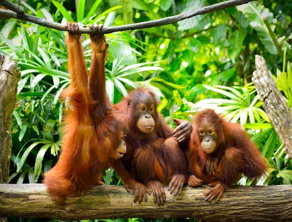 Orangutans playing on the tree.
