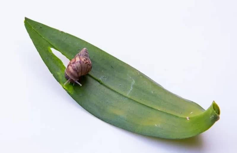 Orchid snail eating a leaf.