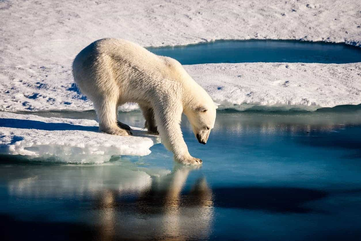 White polar bear surrounded by ice.
