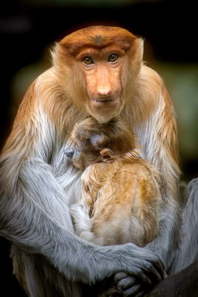 Proboscis monkey with baby.